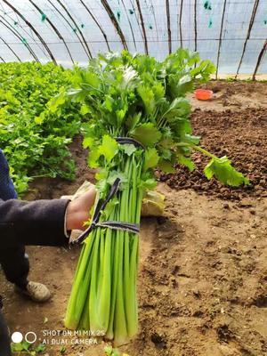 山东省威海市环翠区法国皇后芹菜 55~60cm 大棚种植 0.5斤以下