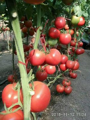 江苏省连云港市东海县硬粉番茄 不打冷 硬粉 弧二以上