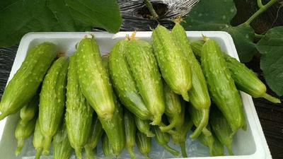 山东省烟台市海阳市海阳白玉黄瓜 18cm以下 鲜花带刺