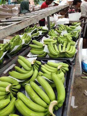 云南省德宏傣族景颇族自治州陇川县缅甸香蕉 七成熟