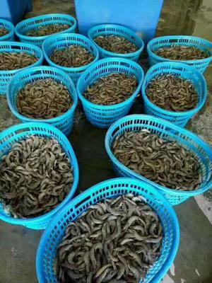 广东省汕头市潮南区南美对虾 野生 9钱以上