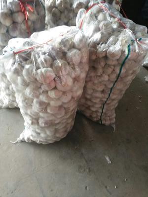 这是一张关于金乡大蒜 5~5.5cm 多瓣蒜的产品图片