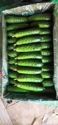 河北省秦皇岛市昌黎县大刺黄瓜 18~22cm 鲜花带刺
