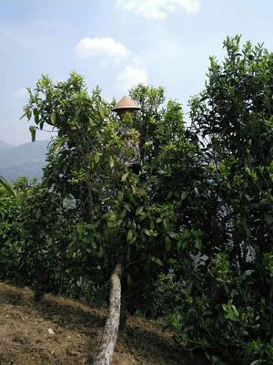 云南省昆明市官渡区大叶古树普洱茶 散装 一级