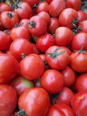 贵州省安顺市关岭布依族苗族自治县大红西红柿 不打冷 大红 弧二以上