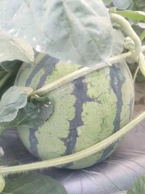广东省汕尾市海丰县特小凤西瓜 有籽 1茬 10成熟 3斤打底