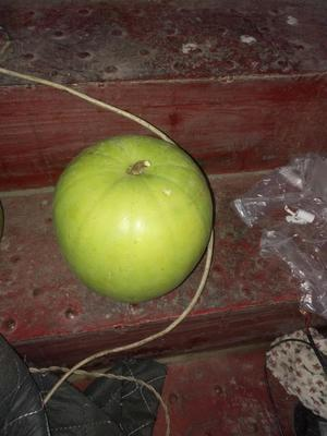 山东省潍坊市安丘市芋香冬瓜 5斤以上 白霜