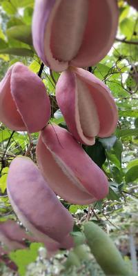 湖北省荆门市钟祥市紫色一号八月瓜 种植 100-120g