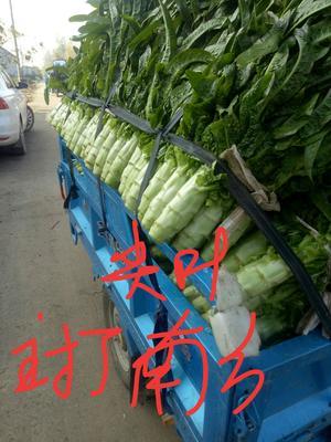 山东省临沂市平邑县尖叶青莴笋 70cm以上 1.5~2.0斤