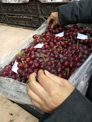 河北省石家庄市晋州市巨峰葡萄 5%以下 1次果 1-1.5斤