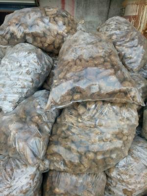 这是一张关于姜母 带土 3两以上的产品图片