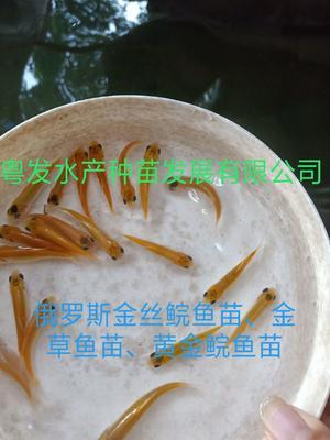 广东省广州市花都区金草鱼苗