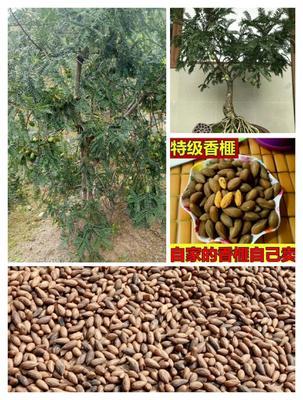 浙江省绍兴市诸暨市香榧苗 0.5~1米