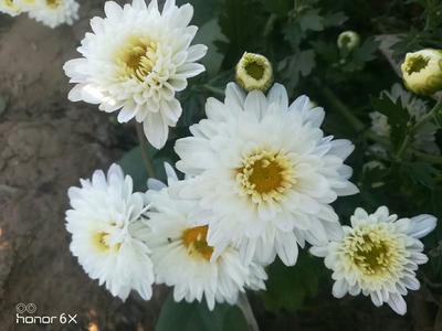 这是一张关于杭白菊花的产品图片