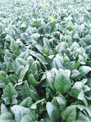这是一张关于大叶菠菜 35~40cm的产品图片