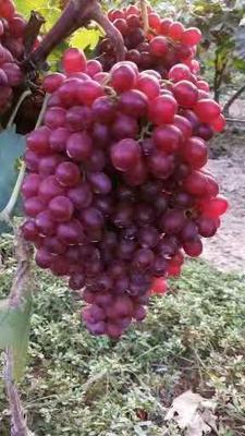 山东省菏泽市巨野县红宝石葡萄 5%以下 1次果 2斤以上