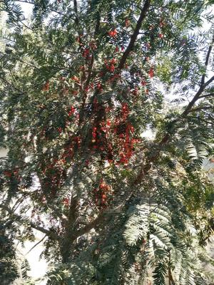 江苏省徐州市新沂市野生红豆杉 3~3.5米