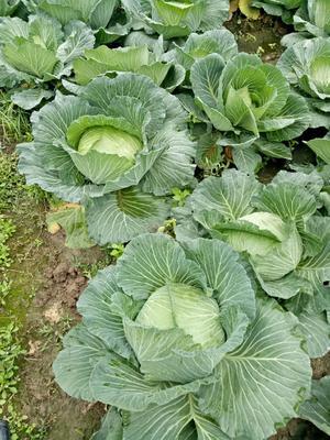 四川省眉山市东坡区绿园四号白菜 3~6斤 净菜
