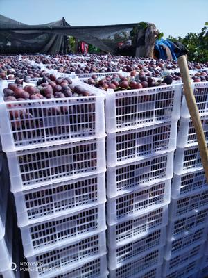 新疆维吾尔自治区昌吉回族自治州昌吉市红提 10%以下 1次果 1-1.5斤