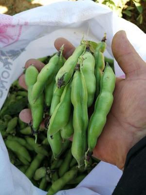 云南省红河哈尼族彝族自治州蒙自市新鲜蚕豆