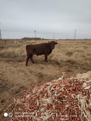 内蒙古自治区鄂尔多斯市鄂托克旗黄牛 400-600斤 统货