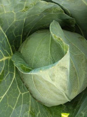 新疆维吾尔自治区阿克苏地区拜城县莲花白包菜 1.5~2.0斤