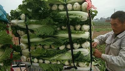 湖北省宜昌市枝江市青麻叶大白菜 1~2斤 毛菜