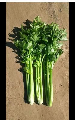 江苏省徐州市铜山区皇妃芹菜 60cm以上 大棚种植 0.5~1.0斤