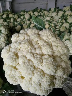 山东省临沂市沂水县有机花菜 紧密 1~2斤 乳白色