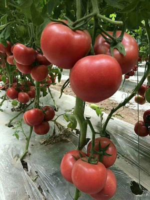 山东省临沂市费县硬粉番茄 不打冷 硬粉 弧三以上