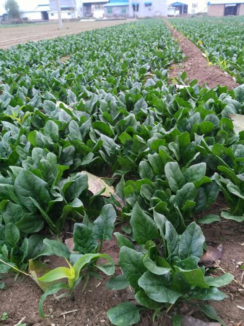大叶菠菜 15~20cm图片
