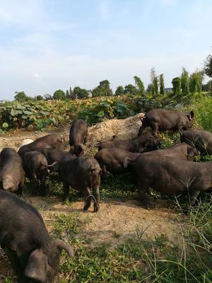 湖南省益阳市赫山区生态土黑毛猪 140斤以上
