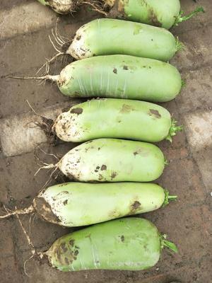 陕西省西安市户县玉美人萝卜 2.5~3斤