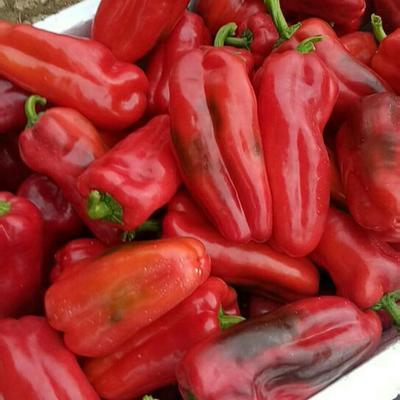 云南省红河哈尼族彝族自治州蒙自市甜椒 10~15cm 红色 甜辣