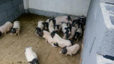 这是一张关于巴马香猪 20斤以下的产品图片