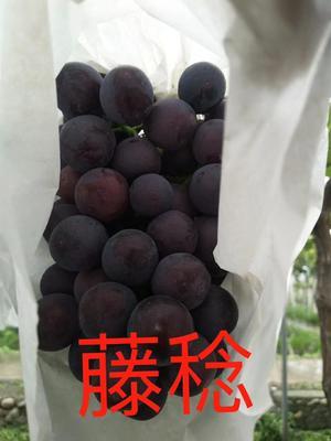 这是一张关于藤稔葡萄苗的产品图片