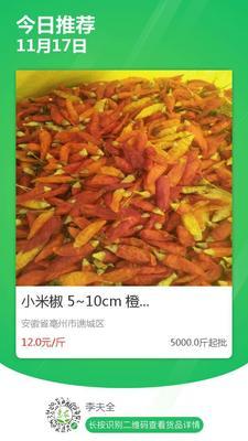 安徽省亳州市谯城区小米椒 5~10cm 橙黄 特辣