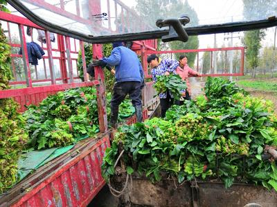 河南省焦作市博爱县高杆菠菜 40cm以上