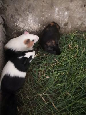 江西省上饶市万年县豚鼠
