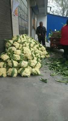 河南省开封市通许县松花菜 松散 3~4斤 乳白色