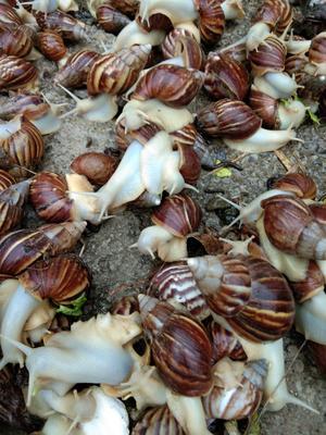 贵州省贵阳市乌当区白玉蜗牛