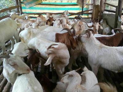 陕西省汉中市城固县山羊 50-80斤