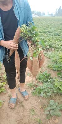 河南省商丘市睢阳区烟薯25 黄皮 1斤~1.5斤