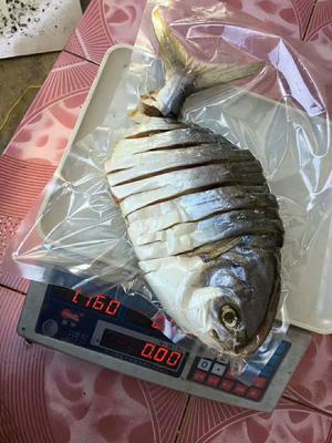 广东省湛江市徐闻县肉鯧鱼 野生 0.5公斤以下