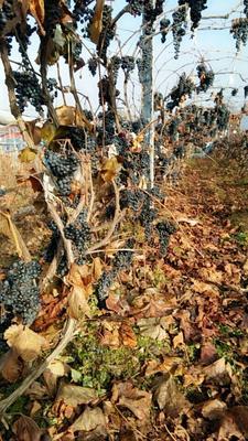 吉林省通化市集安市酿酒葡萄 5%以下 1次果 0.4-0.6斤