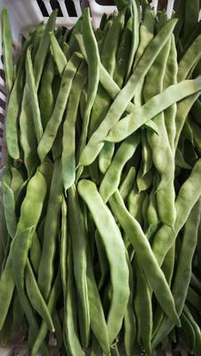 云南省楚雄彝族自治州元谋县绿扁豆 1cm以上 10cm以上