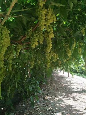 新疆维吾尔自治区哈密地区哈密市无核白葡萄 5%以下 1次果 1-1.5斤