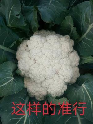山东省临沂市沂水县有机花菜 适中 2~3斤 乳白色