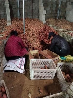 山东省临沂市平邑县烟薯25 红皮 3两~6两