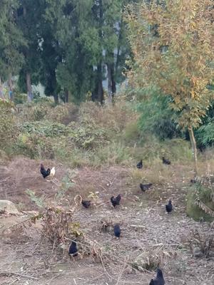 重庆万州区土乌鸡 2-3斤